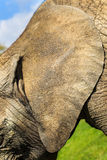 Ear detail. African elephant ( Loxodonta africana ) Royalty Free Stock Photography