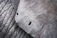 Ear of an elephant Royalty Free Stock Photo