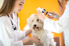 Ear examination of Maltese dog in vet clinic. Ear examination of cute Maltese dog by veterinarians in vet clinic Stock Images