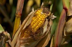Ear of Field Corn Royalty Free Stock Image