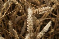 Ear of Golden Wheat Stock Photos