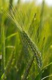 Ear of grain Royalty Free Stock Photo