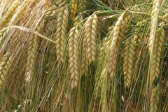 Ear of grain Stock Photography