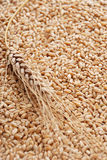 Ear and grain of the wheat Stock Photo