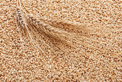 Ear and grain of the wheat Stock Image
