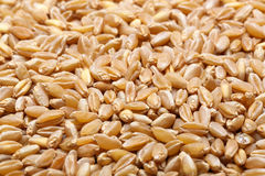 Ear and grain of the wheat Royalty Free Stock Photo
