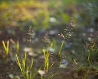 Ear of grass on a meadow with sliding sunset and blurred background stock photography