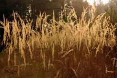 Ear grass. Stock Photo