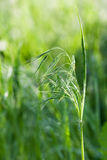 Ear of green grass Royalty Free Stock Images