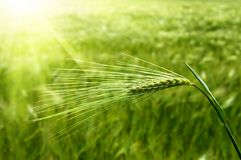 Ear of green wheat Stock Photo