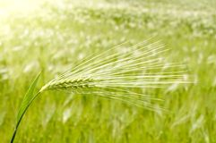 Ear of green wheat Royalty Free Stock Photos