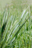 Ear of green wheat Royalty Free Stock Image