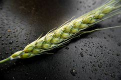 Ear of green wheat on dark background Stock Photos
