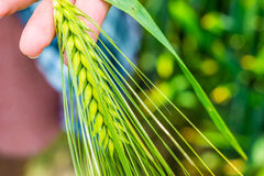 Ear of green wheat in hand, close up Royalty Free Stock Images