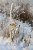 Ear in hoarfrost close-up Stock Images