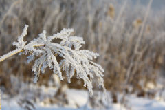 Ear in hoarfrost Stock Images