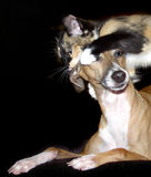 Ear Inspection. Kitten playing with a miniature greyhound royalty free stock images