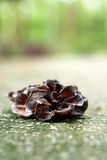 Ear mushroom growing in the forest (Auricularia auricula-judae). Stock Photography