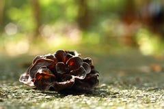Ear mushroom growing in the forest (Auricularia auricula-judae). Stock Photos