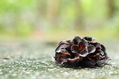 Ear mushroom growing in the forest (Auricularia auricula-judae). Royalty Free Stock Images