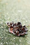 Ear mushroom growing in the forest (Auricularia auricula-judae). Stock Photo