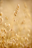 Ear oats Stock Photography