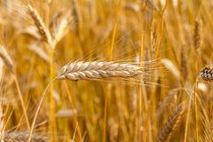 Free Ear Of Rye In The Field Royalty Free Stock Photography - 115794587