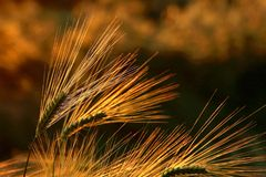Free Ear Of Wheat On A Field At Sunset Royalty Free Stock Photos - 7384968