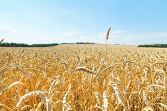 Ear over ripe wheat field Stock Photos