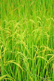 Ear of paddy Royalty Free Stock Image