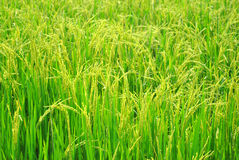 Ear of paddy Royalty Free Stock Images