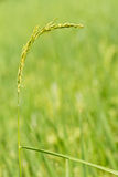 Ear of paddy Royalty Free Stock Photos