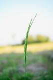 Ear of paddy Royalty Free Stock Photos