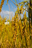 An ear of paddy,thai rice Stock Images
