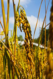 An ear of paddy,thai rice Royalty Free Stock Photo