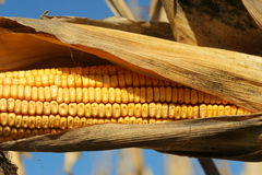 Ear of ready for harvest Stock Photo