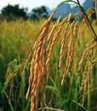 Ear of rice royalty free stock photography