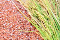 Ear of rice background. Rice's grains,Ear of rice background Royalty Free Stock Image