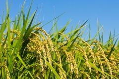 Ear of rice and the blue sky Royalty Free Stock Photography