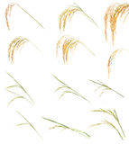 Ear of Rice collection Stock Images