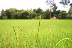 Ear of rice in rice farm agriculture background stock photos