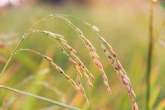 Ear of rice Royalty Free Stock Photos