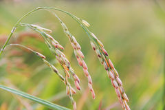 Ear of rice Royalty Free Stock Images
