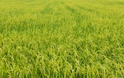 Ear of rice field. Yellow ear of rice field royalty free stock photos