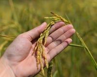 Ear rice Stock Photography
