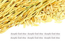 Ear of rice isolate on white background. Stock photo Royalty Free Stock Photos