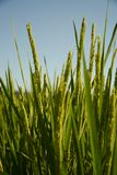 Rice Fields. Ear of Rice, Japanese rice field in Yamaguchi City, Japan Stock Images
