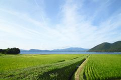 Ear of rice and lake. In Akita,Japan Stock Images