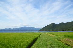 Ear of rice and lake. In Akita,Japan Stock Photography