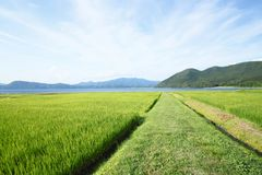 Ear of rice and lake. In Akita,Japan Stock Photos
